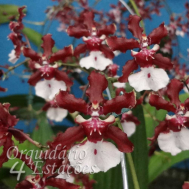Orquídea Oncidium Sharry Baby - AD