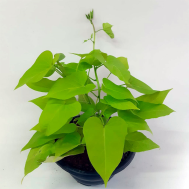Ipomea Green - Batata Doce Ornamental