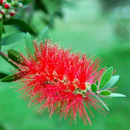 Bonsai Callistemon rigidus - Stiff Bottlebrush