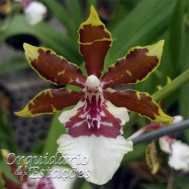 Orquídea Colmanara Jungle Monarch - AD