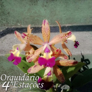 Orquídea Lc. Tropical Pointer - NBS