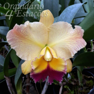 Orquídea Blc. Nobile's Golden Top - AD