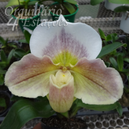 Orquidea Paphiopedilum Big Brown 2 - AD