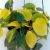 Filodendro Brasil - Philodendron hederaceum - Pendente